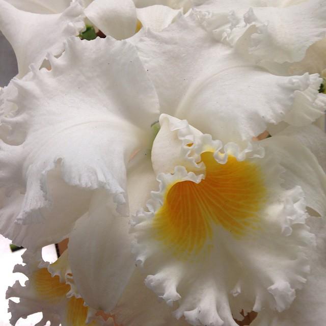 cattleya_orchids_wedding_flowers